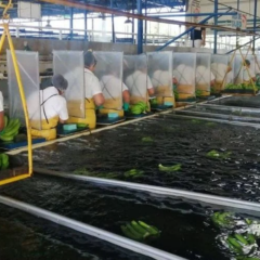 Banana workers in PPE